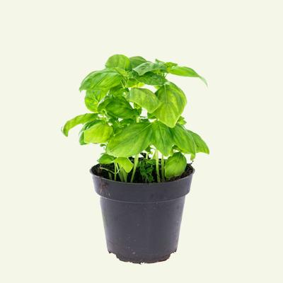 product_kruiden_pot_basilicum